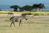 foto of grassland  - Zebra in the grasslands of the National Park - JPG