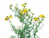 picture of antidepressant  - Yellow flower of Hypericum or St - JPG