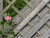 image of climbing roses  - Pink roses climbing on the wooden fence - JPG