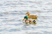 picture of male mallard  - Male and female Mallards are swimming on the Dnieper River in Kiev the capital of Ukraine - JPG