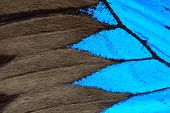 picture of monarch butterfly  - Blue butterfly wing nature pattern texture background - JPG