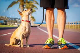 stock photo of street-walker  - chihuahua dog close together to owner walking with leash outside at the park dog looking up at owner - JPG