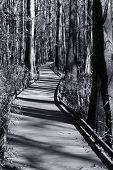 Boardwalk Through The Cyprus Swamp