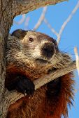 Woodchuck In A Tree