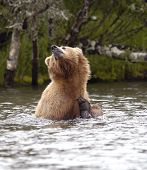 Brown Bear Scratching Ear Sitting In Brooks River
