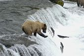 Brown Bear Trying To Catch Salmon Jumping