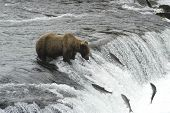 Brown Bear Watching Four Salmon Jump