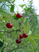 Wild Cherry