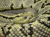 picture of timber rattlesnake  - photo of a coiled timber rattlesnake with eye in center - JPG