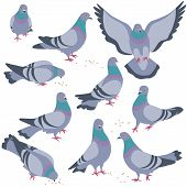 Set Of Rock Doves Isolated On White Background. Bluish Pigeons In Moiton - Walking, Eating, Flying.  poster