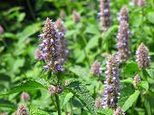 pic of hyssop  - close view of giant hyssop used as spice and salubrious herb - JPG