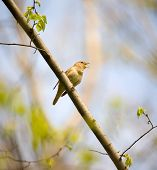 foto of nightingale  - Singing nightingale in a spring wood in sunny day - JPG