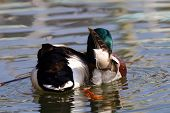 A Mallard Drake Preening The Feathers Under Its Wing poster
