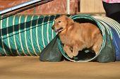 Golden Retriever At A Dog Agility Trial