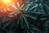 Bush Marijuana On Blurred  Background. Bush Cannabis At Sunset. poster