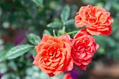 Постер, плакат: Beautiful Rose Flower In Garden Rose Flower Background Roses Flower Texture Lovely Rose Roses In