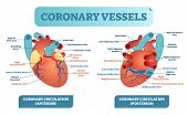 Coronary Vessels Anatomical Health Care Vector Illustration Labeled Diagram. Heart Blood Flow System poster
