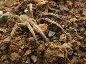 Brown Spider In The Ground