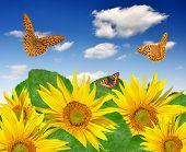 sunflower field with butterflies