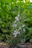 Blooming Rosemary (lat. Rosmarinus officinalis)