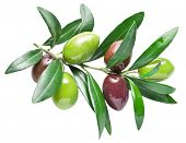 Half-ripe fresh olive berry on the olive branch. File contains clipping paths. poster