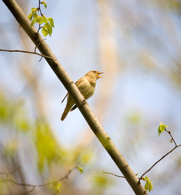 stock photo of nightingale  - Singing nightingale in a spring wood in sunny day - JPG