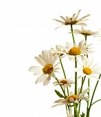 Bouquet of daisy flowers isolated on white background