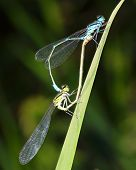couple damselflies copulate on grass