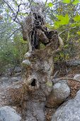 Tree With A Hollow In The Avakas Gorge On The Island Of Cyprus. poster