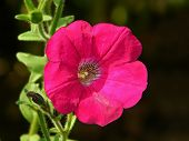 Colourful Pink Purple Petunia Flower Close Up. Flowerbed With One Pink Petunia (petunia Hybrida) Flo poster
