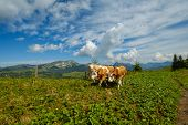 Small herd of cows graze in the Alpine meadow in Switzerland poster