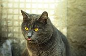 Gray Cat In The Winter Sunshine Shows Tongue, Funny Meme Photo, Close Portrait poster