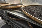 Black Peppercorns Drying In Drying Room Or Box On Plates Of Reed On Black Pepper Plantation. Drying  poster