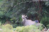 Nilgai Blue Cow Image And Wallpaper.nilgai Antelope, Boselaphus Tragocamelus, Standing In Zoo poster