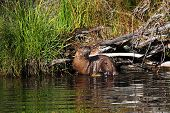 River Otter In Yellowstone Park