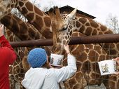 Girl In Blue Hat Feeding A Giraffe