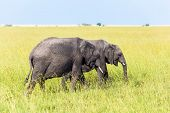 Steppe elephant. Elephants are the largest land mammals. The famous Masai Mara Reserve in Kenya. Afr poster