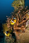 Red Sea Anemonefish with Red Anemone
