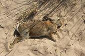 Dead Rabbit.