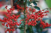 Red Berries (buffaloberries) Plant With Leaf And Branch In Garden,red Berry Plants And Fruits,holly  poster