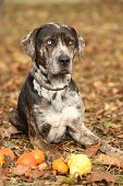 Louisiana Catahoula Dog With Small Pumpkins In Autumn