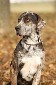picture of catahoula  - Portrait of beautiful Louisiana Catahoula dog in Autumn - JPG