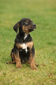 pic of catahoula  - Louisiana Catahoula puppy sitting on the grass - JPG
