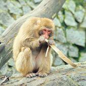 Lonely monkey eats piece of the tree bark
