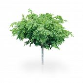 Beautiful Green Tree Isolated On A White Background