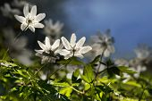 stock photo of windflowers  - Cloe up of windflowers in forest on dark blue sky  - JPG
