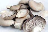 Oyster Cap Mushroom