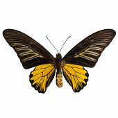 Male Golden Birdwing Butterfly