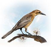 A Bird Perching On A Apple Branch (female blackbird (turdus merula)
