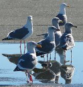 Group Of Seagulls Reflected In Water